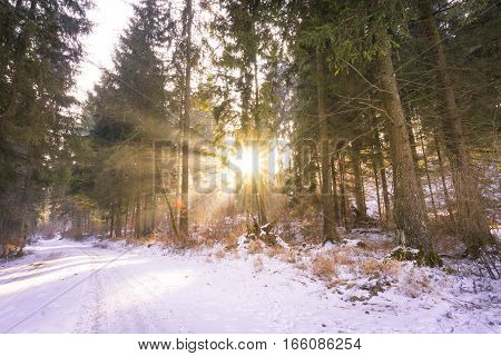 Winter Sun in the Forest. Nature in Winter