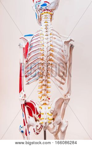 Close Up Behind View Human Skeleton Anatomical Model. Medical Clinic Concept. Selective Focus