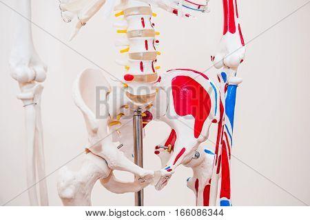Close Up Human Model Pelvis Skeleton Model. Medical Clinic Concept. Selective Focus