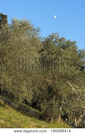 Olive grove (olives trees) on a clear blue sky with the moon. Tuscany Italy Europe