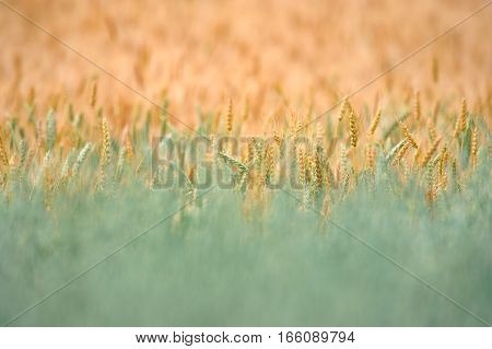 field of ripening wheat. Ears of wheat close up. Background of ears of meadow field. Rich harvest concept.