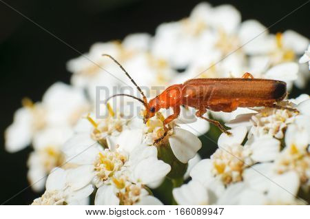 Beetle on a flower in spring time. Insect collecting pollen of blooming white flowers