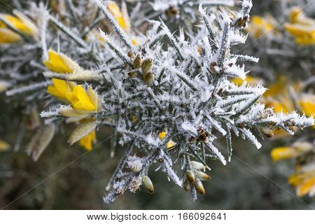flowering common gorse bush covered in frost Ulex europaeus