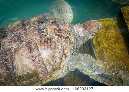Giant sea turtle is swimming in the pool