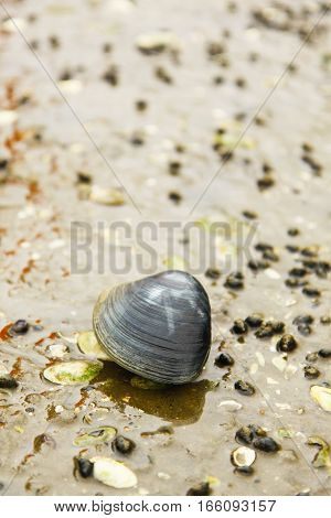 Lonely live clam sitting on the lake ground