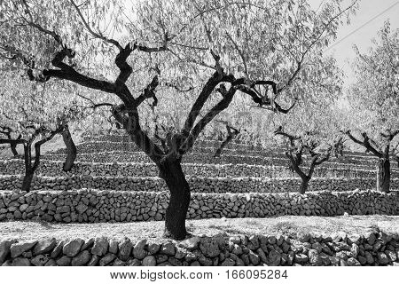 Striking contracts in monochrome wriggly dark barked stems of almond trees in autumn Val de Pop countryside Spain.