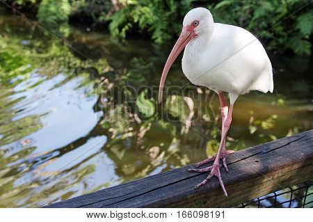 White ibis standing on a hand rail above pond.
