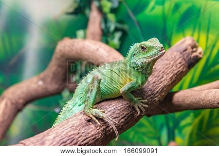 Chinese Water Dragon (physignathus Cocincinus) On A Branch