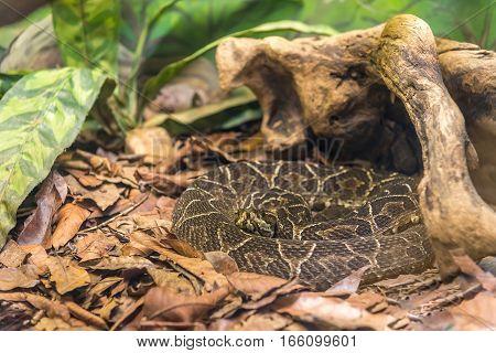 Crossed Pit Viper Snake (bothrops Alternatus) On The Ground