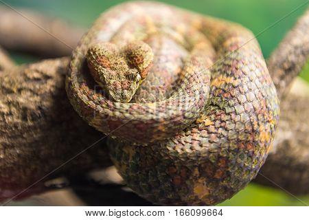 Eyelash Viper (bothriechis Schlegelii)  Slithering On A Branch