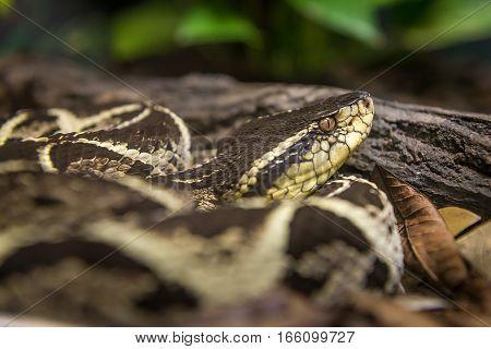 Jararacussu Snake (bothrops Jararacussu) Slithering On The Bare Ground