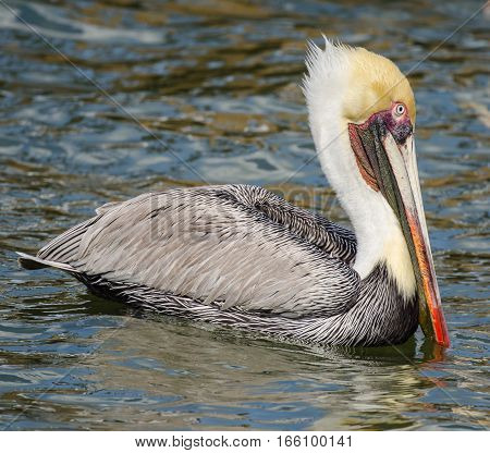 A CLOSE UP OF A BROWN PELICAN SWIMMING