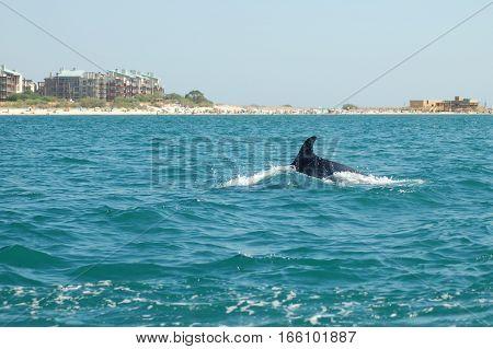 Dolphins of the Sado river estuary, Setubal, Portugal