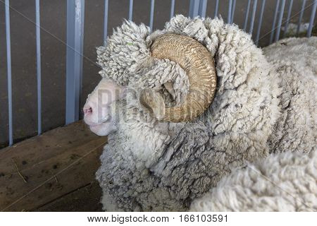 Sheep breed Merino in the paddock. Animals