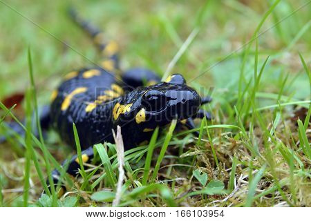 Portrait of black and yellow salamander in the wild