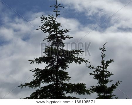 looking up at alaskan pine trees with clouds in the background. Trees silhouetted against a bright blue and white sky.