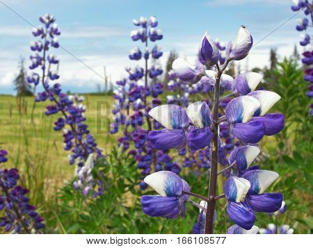 macro shot of Nootka Lupines with a tiny bug on the bloom. Wildflowers in an Alaska meadow with mountains in the distance.