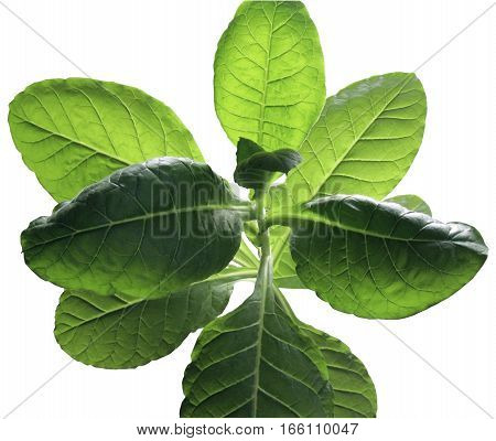 Clipping Path Isolated Tobacco Plant from Above on a White Background