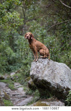 golden vizsla dog sitting on a boulder outdoors in Colombian forest