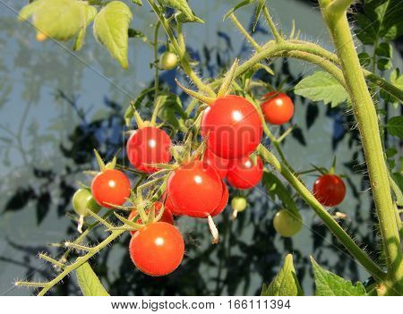 Many cherry tomatoes on the dark background