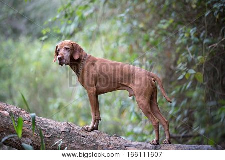 vizsla dog standing on tree trunk in the Colombian jungle