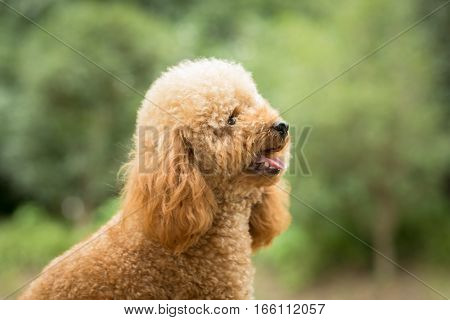 Toy Poodle On Grassy Field in park.