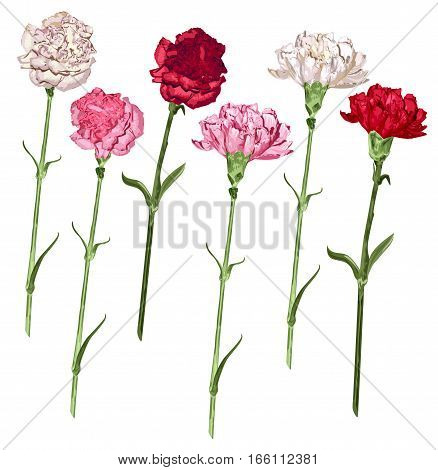 Set carnation flowers. White, pink and red carnation. Isolated on white vector illustration