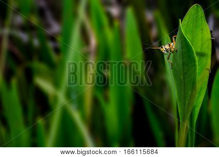 A grasshopper on the green leaf in Everglades National Park