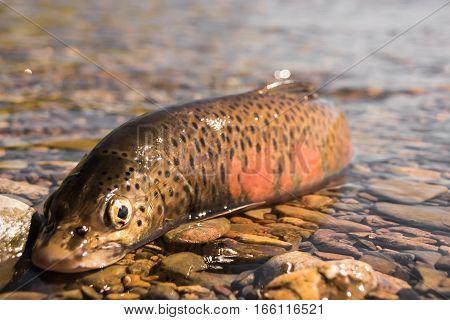 Fish goldilocks fishing in Magadan region Russia