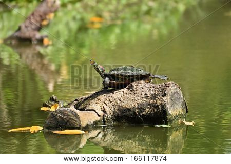 Small butterfly on the nose of the turtle. The turtle was sunbathing on the water timber.