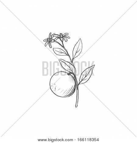 orange tree branch with fruits, leaves, buds and flowers drawing by graphite pencil, isolated hand drawn elements
