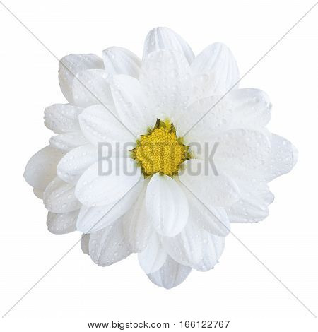 Natural Tender White Gerbera Flower Macro Isolated On White