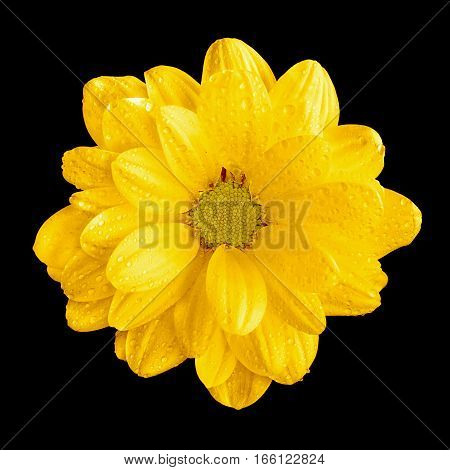 Tender Natural Yellow Gerbera Flower Macro Isolated On Black