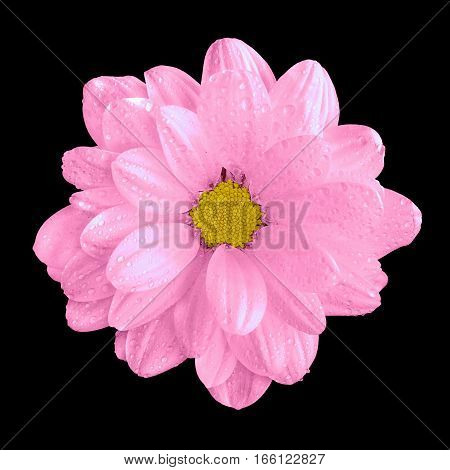 Tender Natural Pink Gerbera Flower Macro Isolated On Black