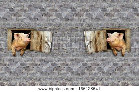 two amusing pigs look at each other from windows of shed