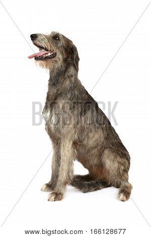 Studio shot of two years old purebred Irish wolfhound dog isolated on a white background