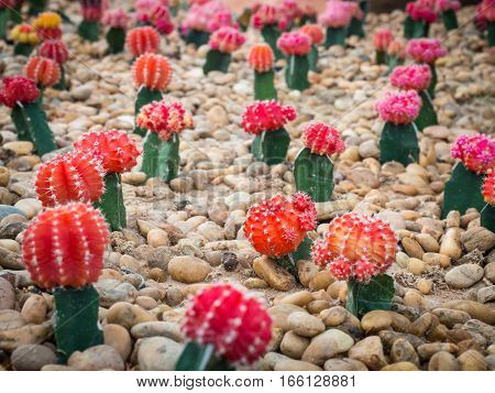 Group of beautiful cactus plant growth on pebble ground.