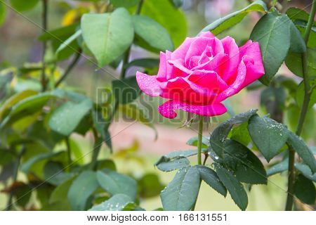 pink rose flower beautiful  in the garden