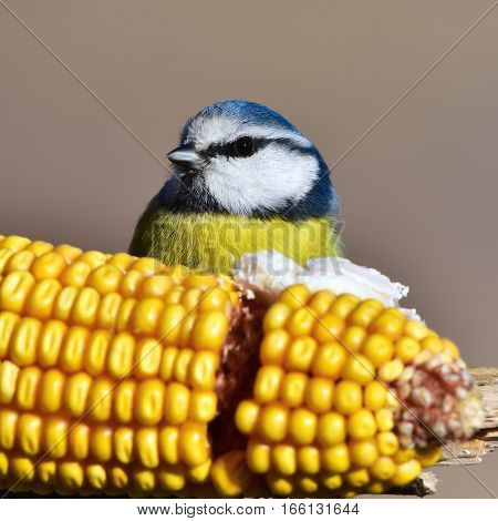 blue tit sitting on ear of corn during winter birdwatching