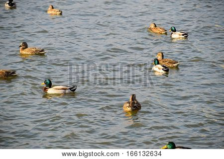 Ducks Swimming In The Pond. Wild Mallard Duck. Drakes And Female