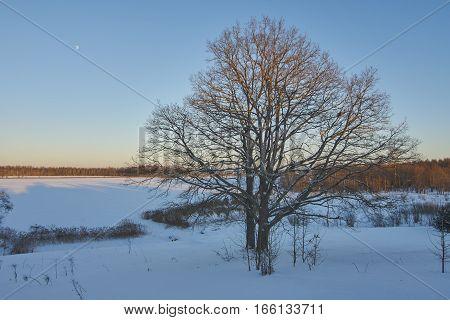Two large oak trees near the lake in winter at sunset time. Sig lake in Nekhina Gora village Ostashkovskiy district Tver oblast Russia.