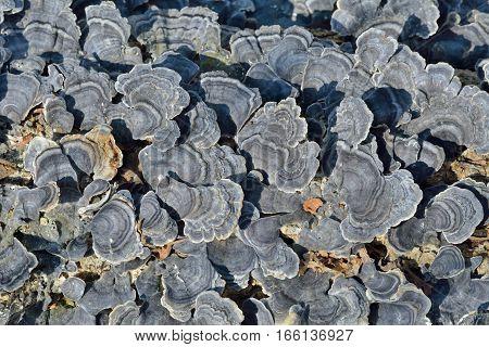 A close up of the mushrooms (bracket-fungus) on dead tree.