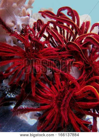 A lilys (Crinoidea) is an unusual fauna of the underwater world, hiding among the corals sinularia