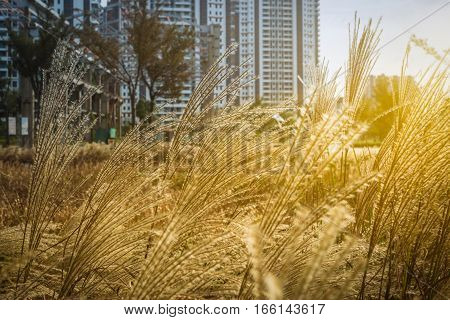 Phragmites waving in the breeze with cityscape in background.