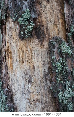Tree bark texture (vertical). Old ragged bark