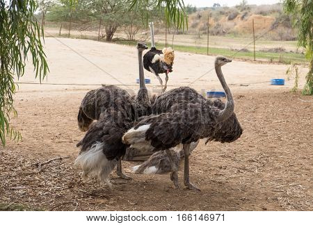 A Few Ostriches Walking At Paddock In Ostrich Farm. Israel