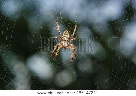 Spider garden-spider (lat. Araneus) is a genus of araneomorph spiders of the family of Orb-web spiders (Araneidae).