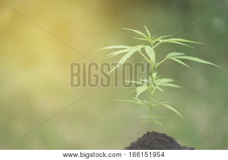 Cannabis Plants Growing In The Field