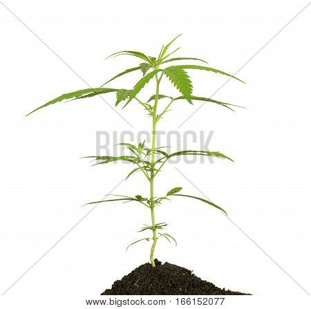 Bright Green Cannabis Sativa Leaf Isolated