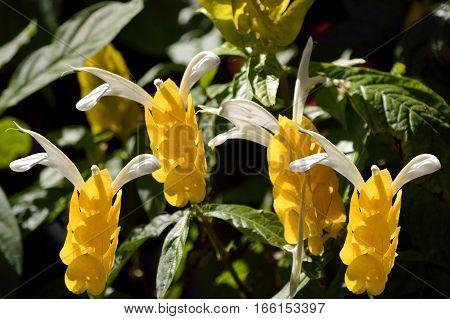 Golden shrimp plant Latin name Pachystachys lutea Diana